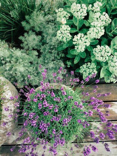 Summer Flowers Summer Outdoors Garden Gardening Garden Photography Lavender Greenplants Green Lilac Purple Violet Flowers