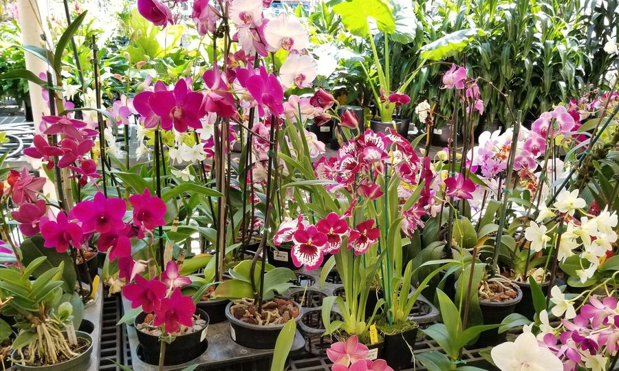 Growth Plant Flower Nature Outdoors Day No People Pink Color Beauty In Nature Fragility Freshness Blooming Flower Head Greenhouse Close-up Orchid EyeEm Flower Unedited EyeEm Nature Lover Beautiful ♥ Picoftheday Pretty♡ Orchid Blossoms EyeEm Gallery Greenhouse Plants