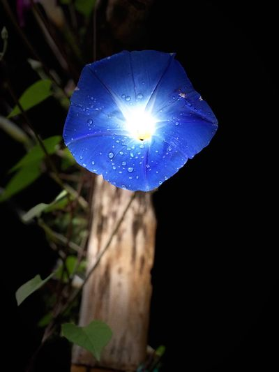 Blue Plant Close-up Blue Fragility Flower Vulnerability  Flowering Plant Nature Night