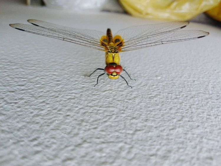 Insect Dragonfly💛 Close-up Indoor Photography Front View Ready For Take Off!!! Perfection In Nature Perfection In These Eyes Perfection In Creation Perfect Landing 😊 Agreessive Look Fight For Life