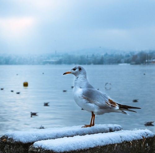 Bird Animal Themes Animals In The Wild One Animal Nature Animal Wildlife Winter Water Sea Cold Temperature Switzerland Zürich Seagull Outdoors Beauty In Nature Lake Day No People Sky Scenics Zürichsee