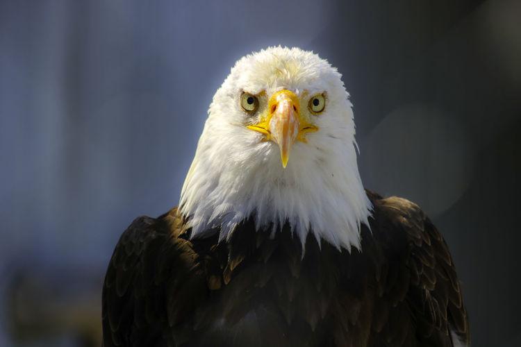 Close-up portrait of eagle against blurred background