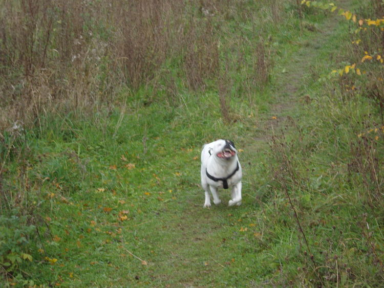 Animal Themes Day Dogs Domestic Animals Field Grass Mammal Nature No People One Animal Outdoors Pets Staffysmile