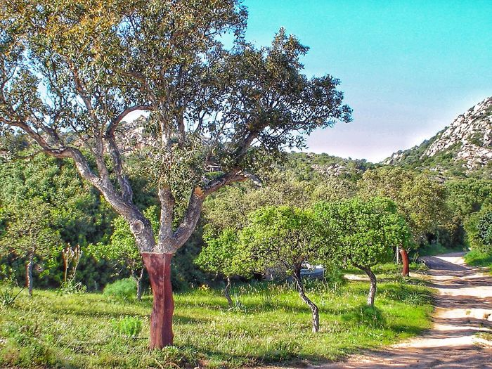 Tt Tree Growth Nature Beauty In Nature Tranquil Scene Outdoors Day Tranquility Branch Green Color Scenics Road Real People Landscape Men Sky Grass People Cork Trees Italy Sardinia Sardegna Travel The Great Outdoors - 2017 EyeEm Awards