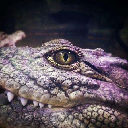 Смотрит как на еду Sochi Krokodil Krokodyl