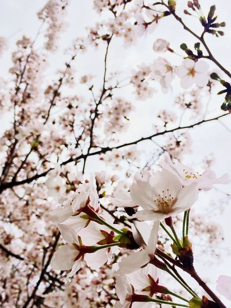 桜 Cherry Blossoms Japan Culture お花見 Sakura