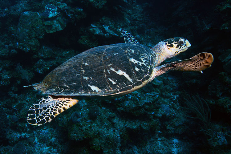 A hawksbill turtle glides along the reef in roatan, honduras.