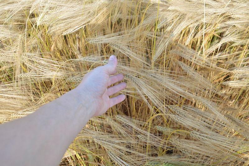 Adult wheat ears on a field in a village