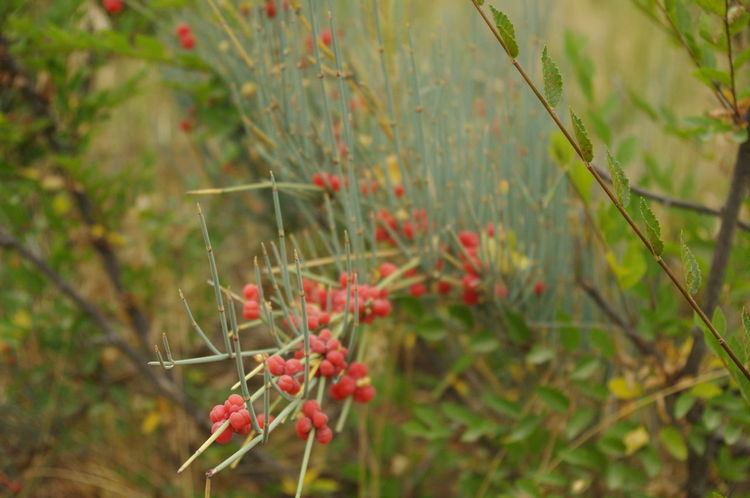 Ephedra Sinica Nature Plant Close-up Outdoors