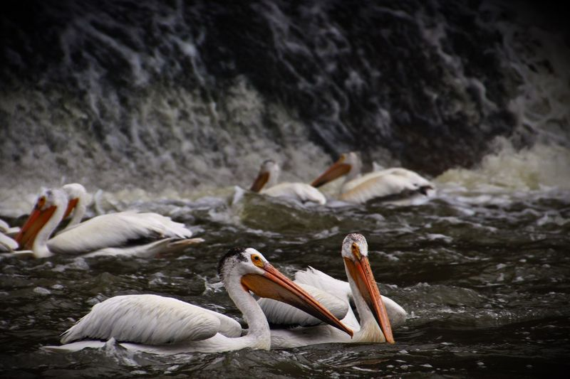 Pelicans swimming in sea