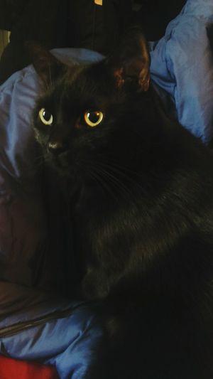 BLackCat Yellow Eyes Cat Mojito♡ Mojito Cute Kitty Quiet Moments My Cat♥