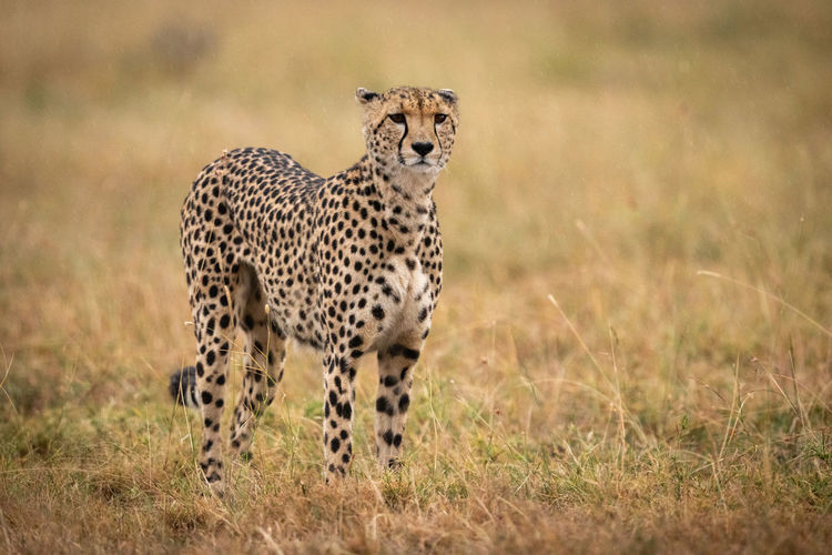 Cheetah standing in long grass facing camera Africa Kenya Masai Mara Kicheche Savannah Savanna Grassland Grass Acinonyx Jubatus Cheetah Cat Big Cat Predator Carnivore Nature Travel Safari Animal Themes Animal Animal Wildlife Animals In The Wild One Animal Feline Mammal Spotted No People Field Vertebrate Plant Land