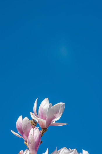 Pink magnolia flower against blue sky with negative space for copy