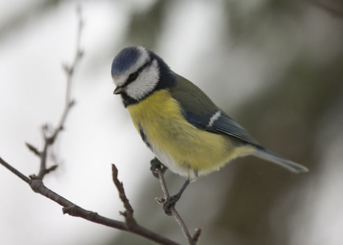 Animal Themes Animal Wildlife Animals In The Wild Beauty In Nature Bird Blue Blue Tit Branch Close-up Day Nature No People One Animal Outdoors Parus Caeruleus Songbird  Yellow
