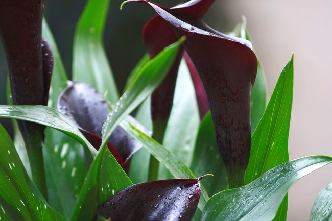 Black Calla. Calla Calla Lily Plant Leaf Growth Nature Flower Green Color Beauty In Nature Close-up Fragility Flower Head Blossom Taking Photos EyeEm Nature Lover Canonphotography Beliebte Fotos Check This Out EyeEm Gallery EyeEm Best Shots Freshness