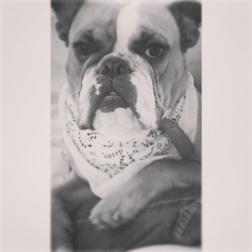 Ham has a new bandana. :) Oldenglishbulldog Bulldog Bullies Animallover dog puppy love loveher strong 3legs bandana vibrant life