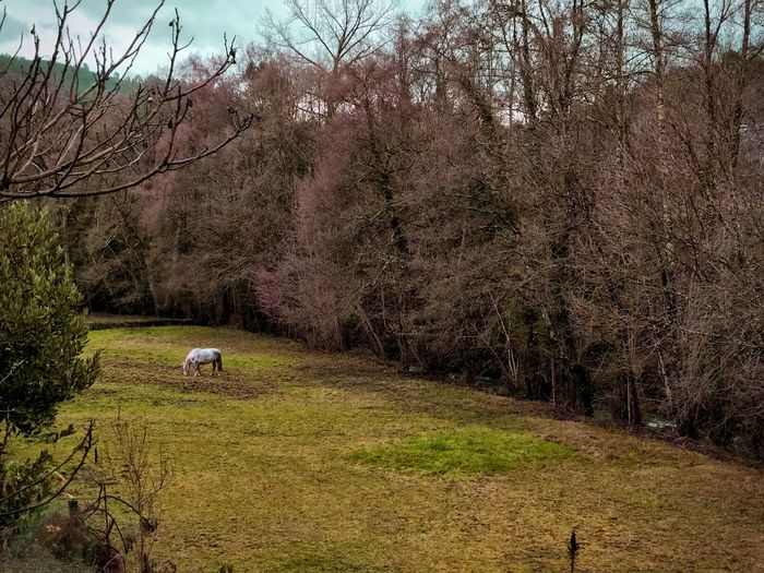 Tree Domestic Animals Nature Animal Themes Mammal Beauty In Nature Livestock One Animal Tranquil Scene Bare Tree No People Tranquility Outdoors Cow Grass Growth Branch Scenics Day Grazing