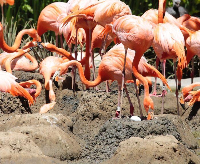 Bird Birds_collection Bird Photography JGLowe Egg Flamingo Land Group Of Animals Flamingo Animal Animal Themes Animal Wildlife No People Nature Large Group Of Animals Animals In The Wild Day Vertebrate Sunlight Outdoors