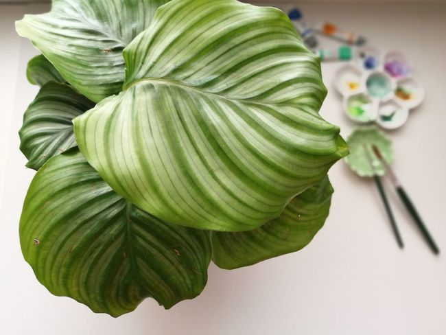 Calathea Green Color Close-up No People Indoors  Freshness Leaf Plant Part Beauty In Nature Backgrounds Nature Plant Watercolor Food And Drink Food Day