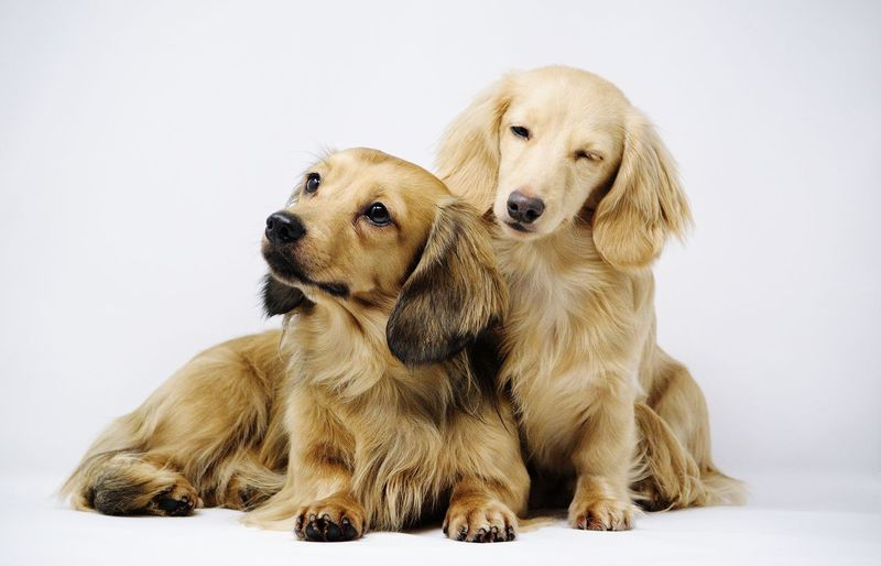 Two dogs sitting on white background