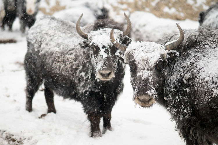 Snow Cold Temperature Winter Mammal Animal Themes Animal Group Of Animals Domestic Animals Horned Nature Animals In The Wild Livestock No People Land Day American Bison Animal Wildlife Vertebrate Outdoors Snowing Extreme Weather Herbivorous Snowcapped Mountain Herd Yak