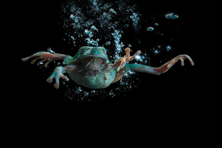 Close-Up Of Tree Frog Swimming In Water Against Black Background
