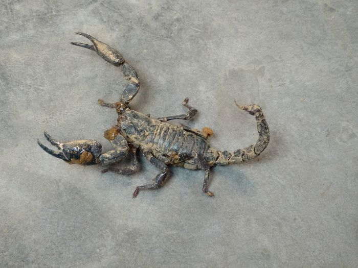 High Angle View Of Dirty Scorpion