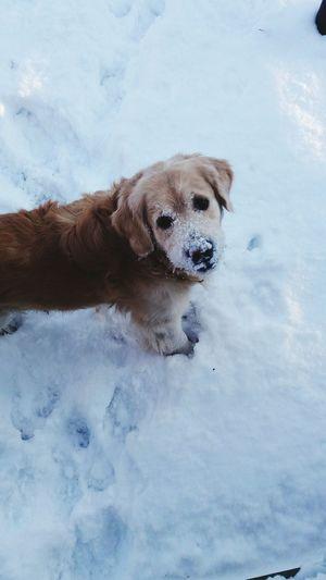 Showcase: January Doggy Baunts Golden Retriever Snowy So Much Snow!!
