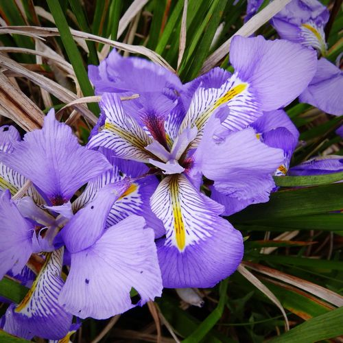 Spring bulbs Flower Purple Beauty In Nature Nature Freshness Fragility Flower Head Petal Plant Close-up Blooming Iris - Plant Outdoors No People Day Spring Flowers Spring