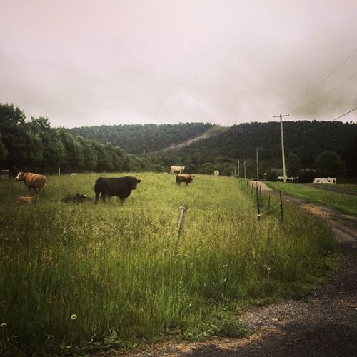 Three cows, one bull (one calf) Farmporn Cattle Tusseymountain Americangothic dirtroad gravel pasture wirefence appalachia pennsylvania