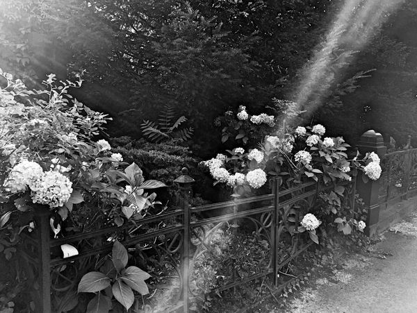 Rays of sunshine playing with hydrangeas in a grave Hydrangea Sun Sunshine Graveyard Graveyard Beauty Bnw_collection Light And Shadow Schwarz & Weiß Nature Black & White Beautiful Nature Fortheloveofblackandwhite Natur Blüte Flower Black And White Hortensia Hortensie Grab Friedhof Cemetery Flowers,Plants & Garden Grave Flower Collection Ironwork  Fence