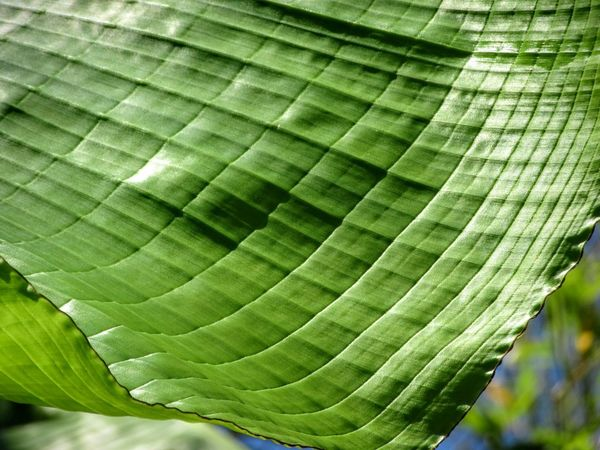 Banana leaf close up BananaLeaf Banana Leaf Leaf Banana Tree Close-upIn My Garden Garden Gardens Garden Photography Designs In Nature The Essence Of SummerMizen Peninsula West Cork Wildatlanticway Ireland Color Palette