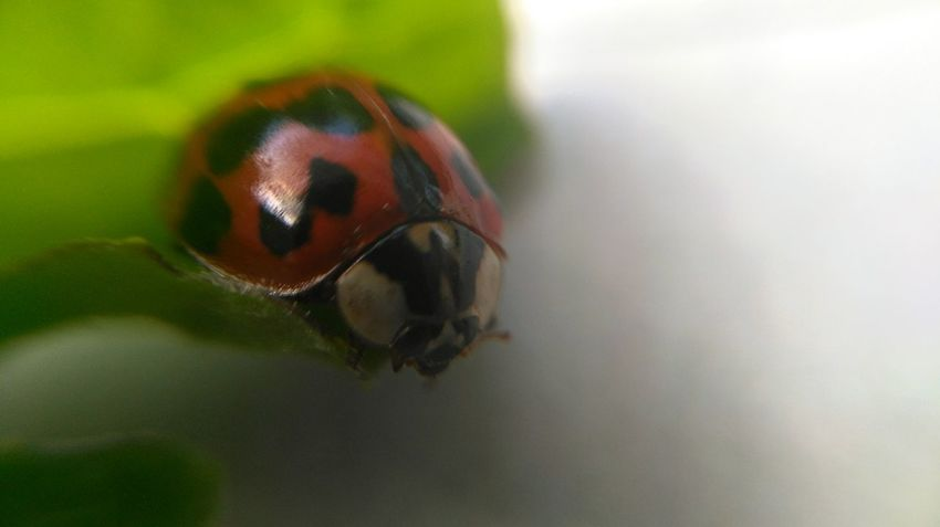 Insect One Animal Animal Themes Animal Wildlife Animals In The Wild Close-up Nature Microbiology No People Day Ladybugs Photography Indoors  Macroshot Nature Beautiful Smartphonephotography Beauty In Nature Springtime Macro_flower Macrophotography Marcokleinphotography Honor5x Honor5xphotography Ladybug Ladybug🐞
