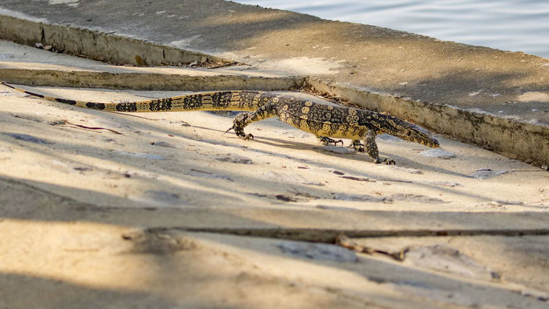 Image of a bengal monitor on the cement floor. Wild Animals. Bengal Monitor Animal Themes Animal Wildlife Animals In The Wild Beach Beauty In Nature Close-up Day Mammal Nature No People One Animal Outdoors Reptile Sand