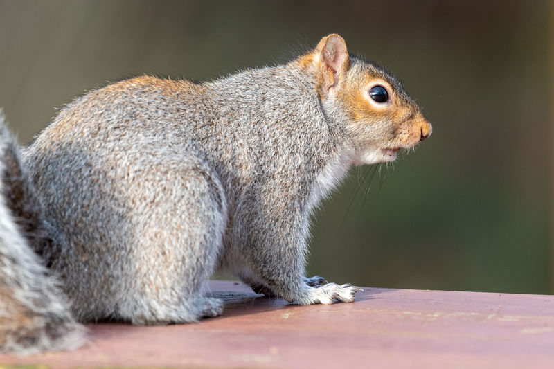 Portrait of a grey squirrel on a picnic table in the park.