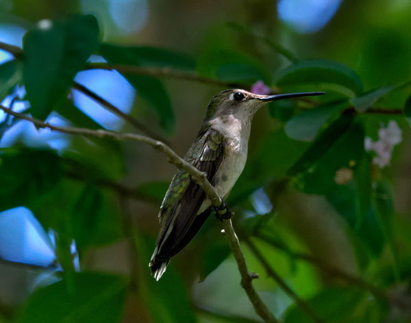 Animal Animal Themes Animal Wildlife Animals In The Wild Beak Beauty In Nature Bird Close-up Day Focus On Foreground Green Color Hummingbird Leaf Nature No People One Animal Perching Plant Plant Part Selective Focus Vertebrate