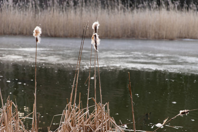 reeds in cold frozen water Plant Nature Day Outdoors Cold Temperature Water Lake Focus On Foreground Tranquility No People Growth Beauty In Nature Grass Cattail Tranquil Scene Land Plant Stem Winter Close-up Reed Water Reed
