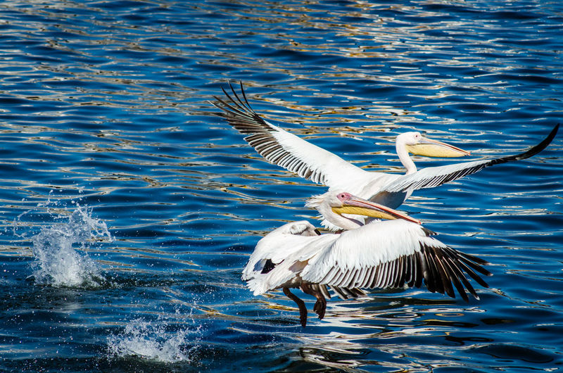 Namibia Walvis Bay Animal Animal Themes Animal Wildlife Animal Wing Animals In The Wild Bird Day Flapping Flying Lake Nature No People One Animal Pelican Rippled Seagull Spread Wings Sunset Vertebrate Water Water Bird Waterfront