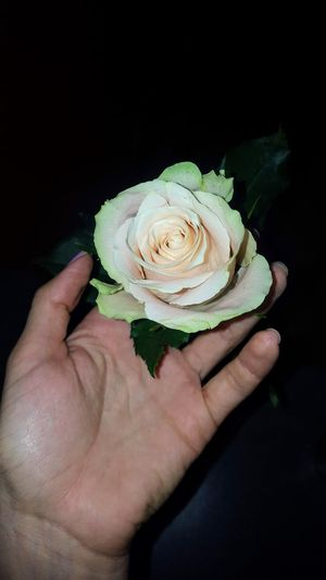 fragile Rose - Flower Human Hand Black Background Holding Close-up Personal Perspective Blooming Petal Flower Head Single Flower