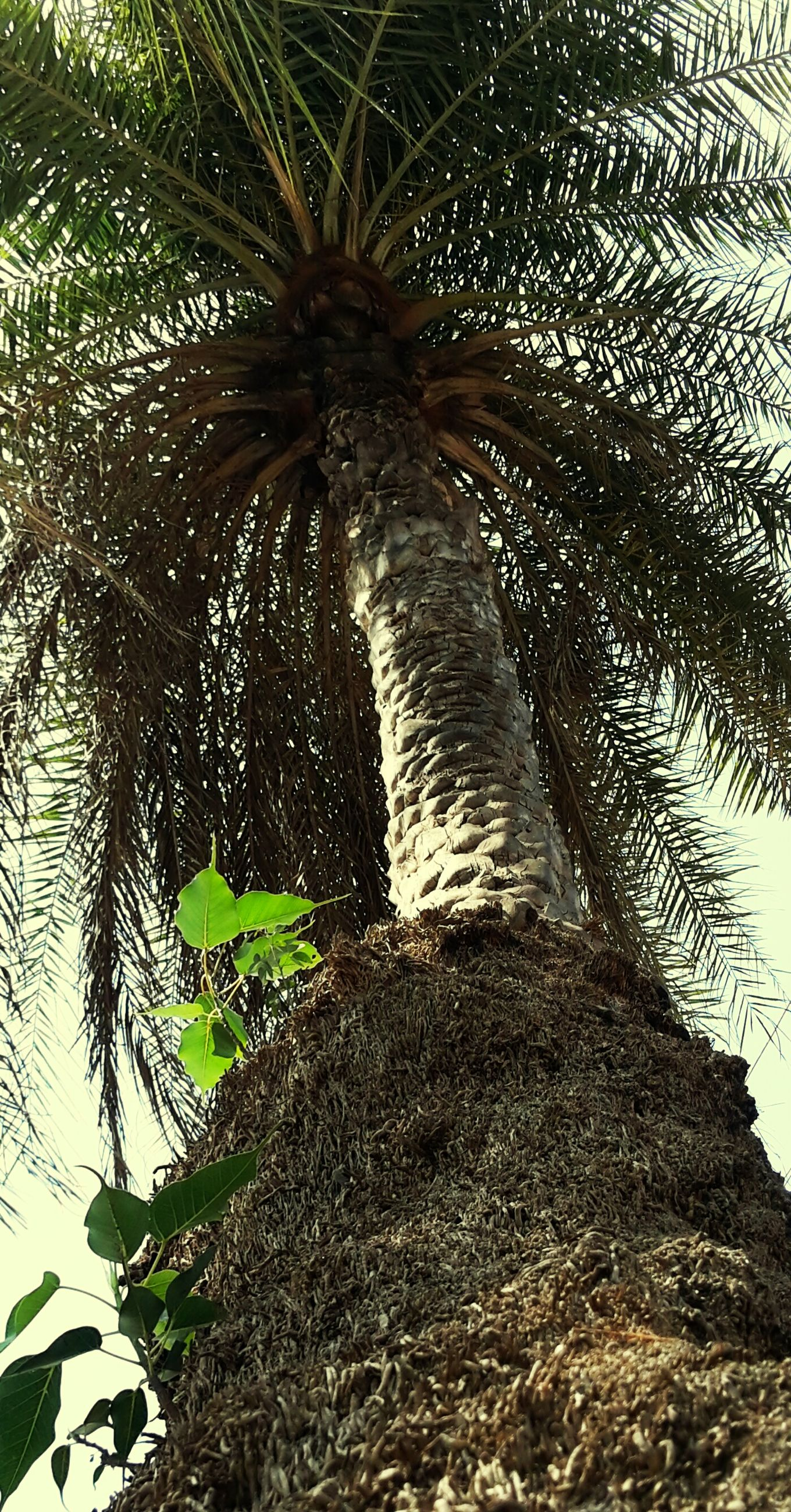leaf, tree, growth, nature, plant, low angle view, palm tree, branch, day, outdoors, tranquility, no people, beauty in nature, sunlight, tree trunk, green color, close-up, sky, wood - material, natural pattern