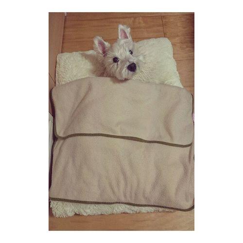 おはようございます オフトゥン のあったかさに一限を犠牲にする季節になりましたね、❄ スノ ウエスティー Dog Instadog Westy Westie Westylove Comfy  Ilovemydog Adorable