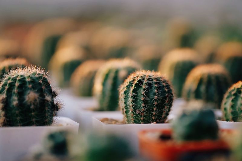 Selective focus cactus in gardens Cacti Garden Cacti Cactus Succulent Plant Selective Focus Growth Thorn Close-up No People Plant Barrel Cactus Nature Beauty In Nature Natural Pattern Green Color Botany Potted Plant Sharp