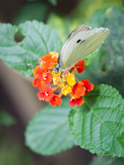 butterfly Flower Flowering Plant Freshness Plant Beauty In Nature Fragility Vulnerability  Close-up Growth Petal Plant Part Leaf Flower Head Inflorescence Nature Day Selective Focus Green Color Human Hand Hand Outdoors Lantana Pollen Butterfly - Insect