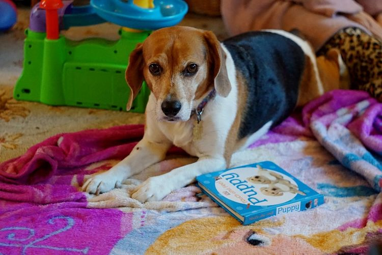 Dog Looking At Camera Beagle One Animal Domestic Animals Animal Themes Pets Indoor Photography Animal_collection Pet Portraits Childrens Toys Sad Puppy Eyes Visual Creativity