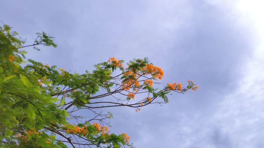 Clouds And Sky Flowering Tree Orange Flamboyant St.Croix, US Virgin Islands