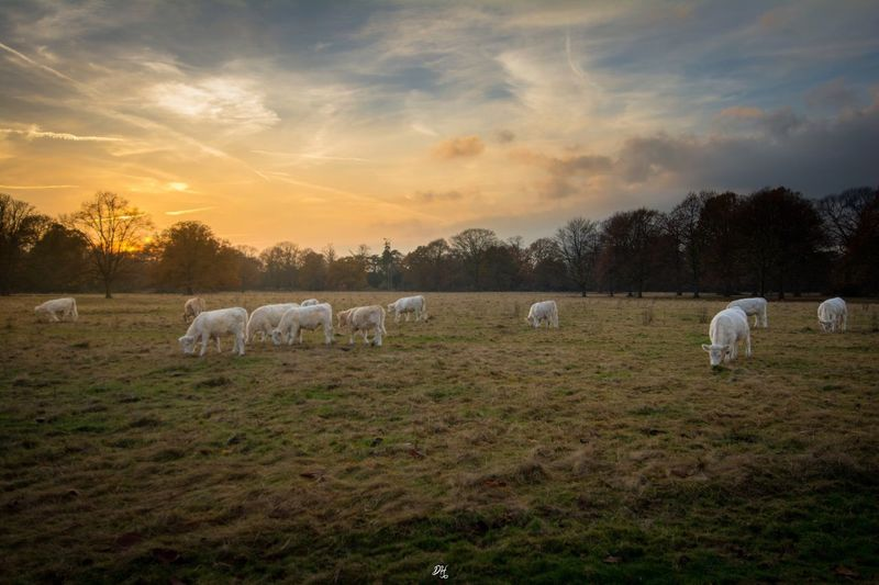 Sunset Livestock Domestic Animals Animal Themes No People Mammal Landscape Nature Sky Beauty In Nature Cloud - Sky Outdoors Day