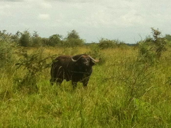 Uganda  Kidepo Water Buffalo National Park Kidepo Valley Karamoja Kaabong