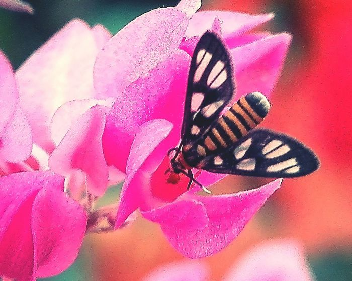 Tiger moth on a flower Pink Flower Tiger Moth Bug Insect Photography Butterfly - Insect Pink Color Insect Nature No People Outdoors Beauty In Nature Flower Close-up