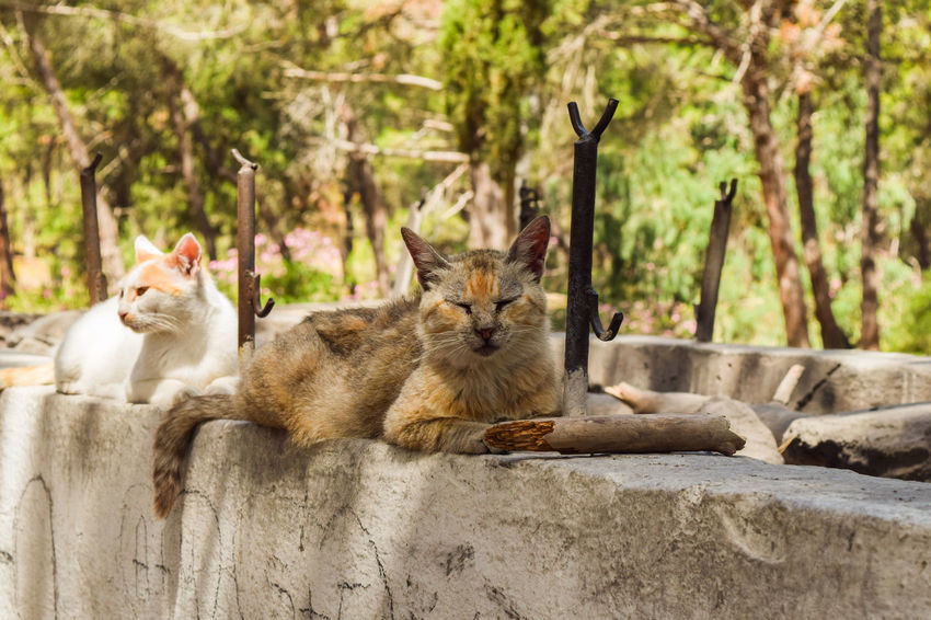 Cats lying on a wall in a mediterranean park Animals In The Wild Housecat Kittens Plaka Animal Themes Cat Day Domestic Animals Domestic Cat Feline Feline Portraits Kitten Mammal Mammals Nature No People Outdoors Outside Park Pets Plaka Forest Portrait Sitting Tabby Wildcat