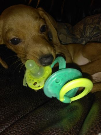 Colton's little puppy Rusty done stole his Passy Again!!! Pet Portraits EyeEmNewHere Babyanddog Happy Burlington NC The Week On EyeEm Modern Love Indoors  Looking At Camera Portrait Pets Beautiful Dog Animal Themes One Animal Animals In The Wild Cute Pet Portrait Pet Photography  Backgrounds Puppy❤ Puppylife Looking At Camera Puppy Dog Portrait Paint The Town Yellow